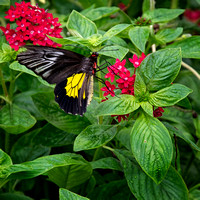 Species Name: Cairns Birdwing (Asia)