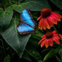Species Name: Blue Morpho (South America)
